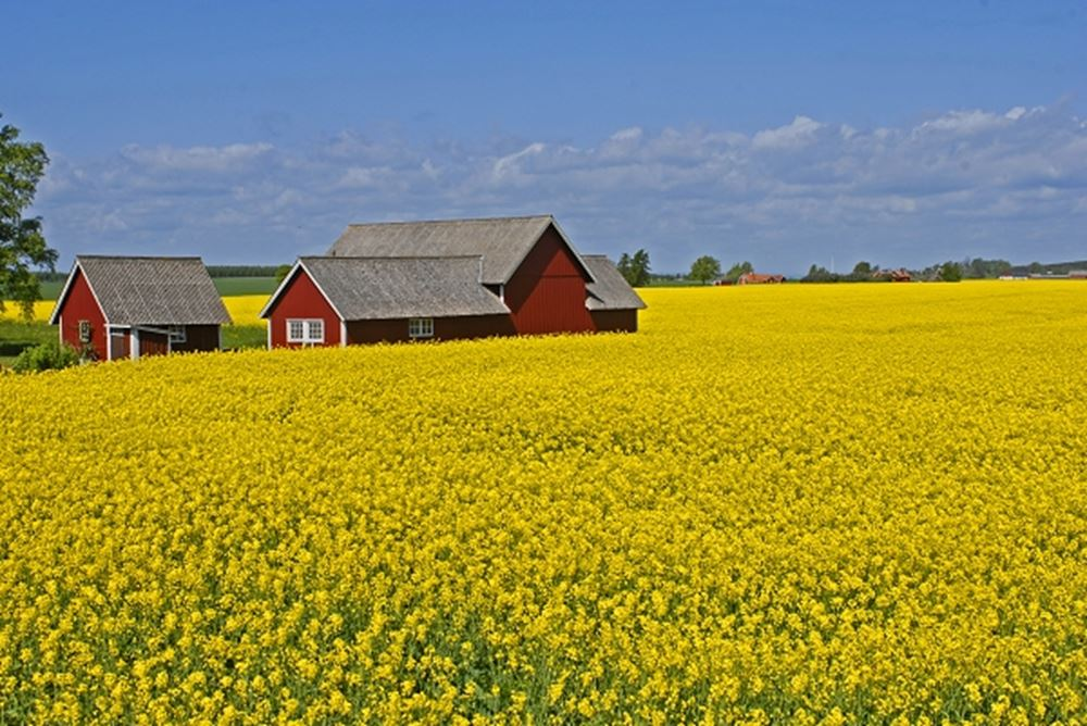 Rape fields and red house, Sweden