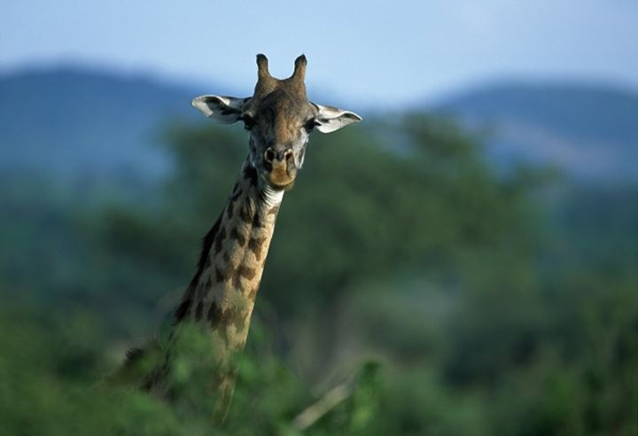Giraffe behind trees in a forest