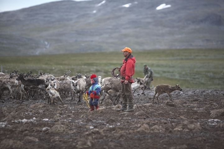 Side profile of a man and his son herding a herd of deers in a field, Swedish Lapland, Sweden