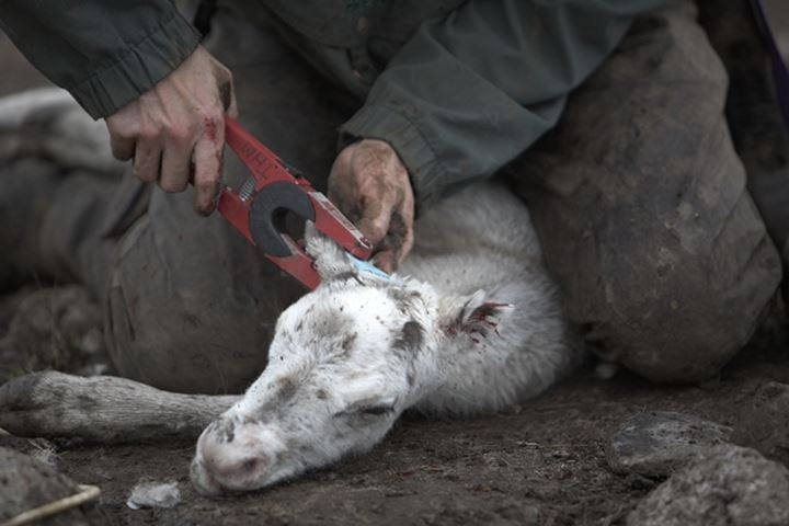 A person slaughtering a reindeer