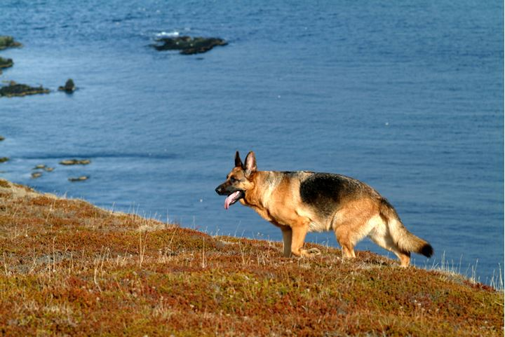 A guard dog on a beach
