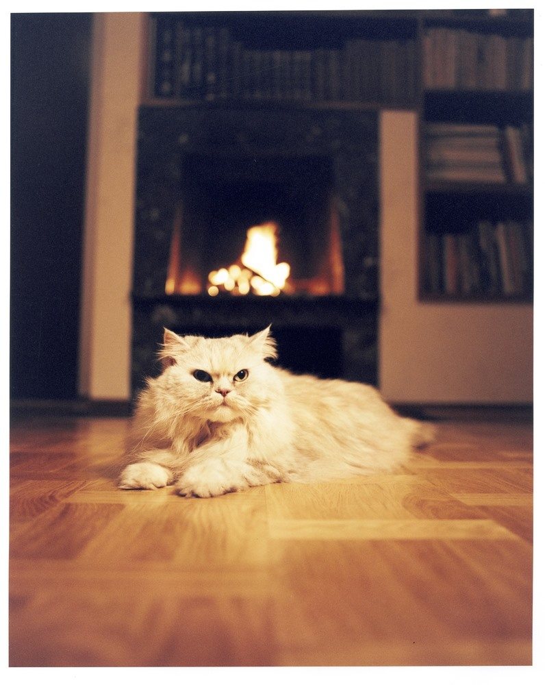 A Persian cat lying on a wooden floor